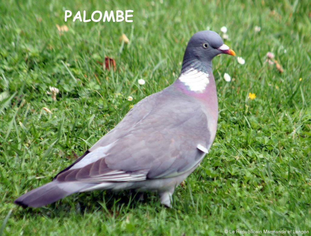 palombe-1 copie
